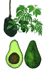Aguacate (Persea americana) México